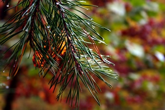 Fall Pine Tree Autumn Colors Background