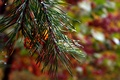 <p>Pine needles from an Autumn pine tree with fall foliage colors bursting in the background.</p>