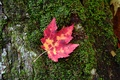 Fall Red Leaf Moss Tree