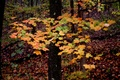 Bright Colored Tree Fall Leaves