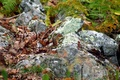 Chipmunk Hiding in the Fall Leaves on the Rocks