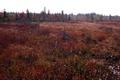 Fall Forest Bog Cottongrass