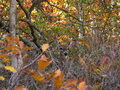 Whitetail Deer Autumn Brush Leaves